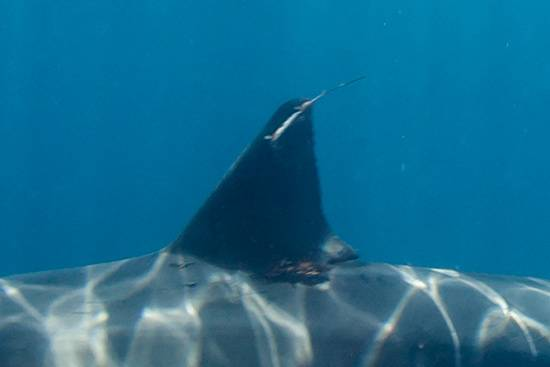 great white shark spot tag